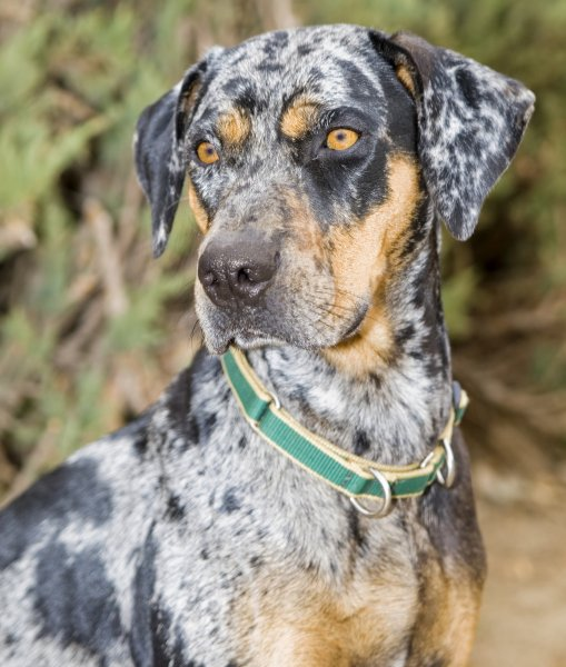 6-101329-catahoula-leopard-dog-close-up-1430524164